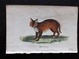 Holloway 1803 Hand Col Print. Serval
